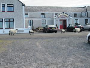Sheep on Patrol (Photo: Dan O'Shea)